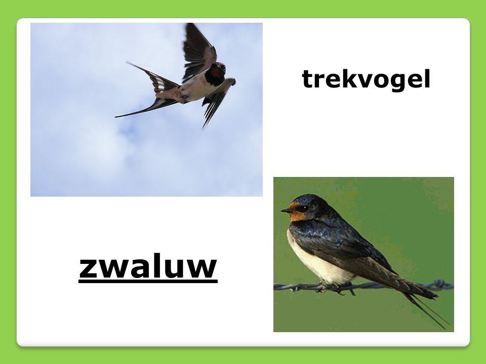 zwaluw trekvogel