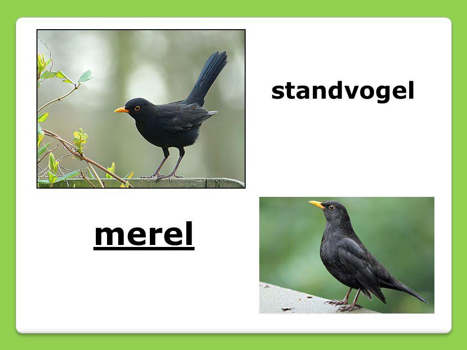 merel standvogel