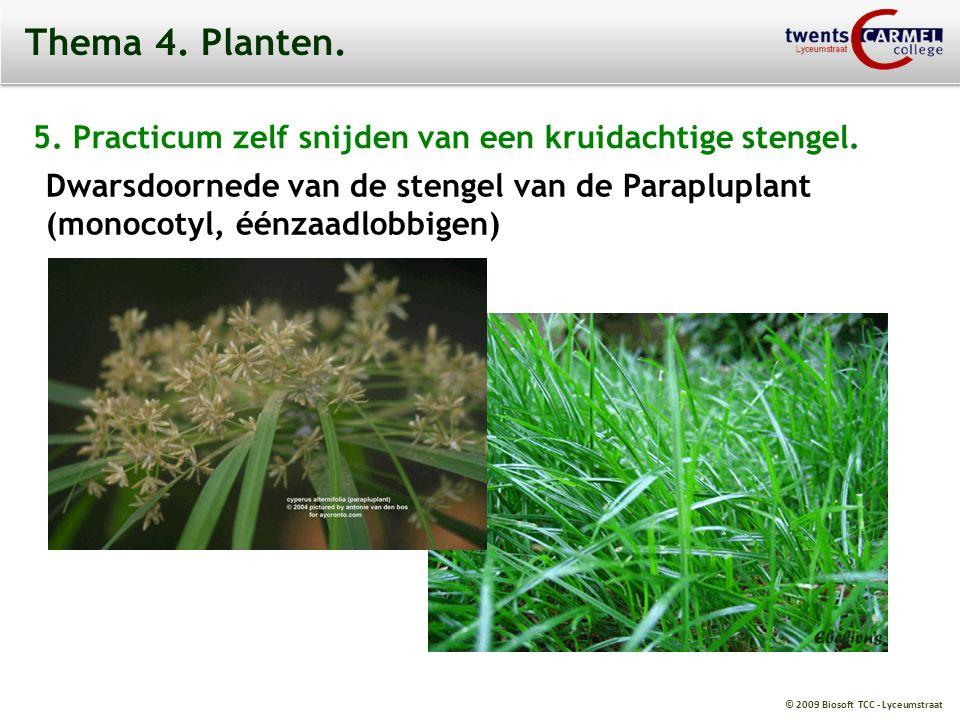 © 2009 Biosoft TCC - Lyceumstraat Thema 4. Planten. 5. Practicum zelf snijden van een kruidachtige stengel. Dwarsdoornede van de stengel van de Parapl