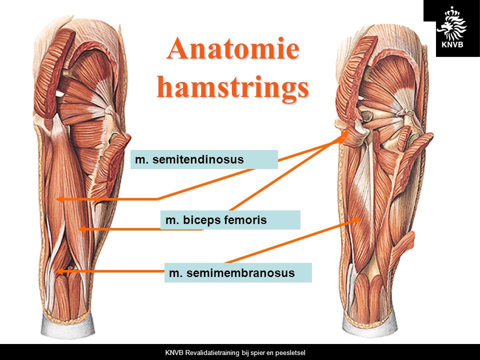 KNVB Revalidatietraining bij spier en peesletsel m. biceps femoris m. semitendinosus m. semimembranosus Anatomie hamstrings