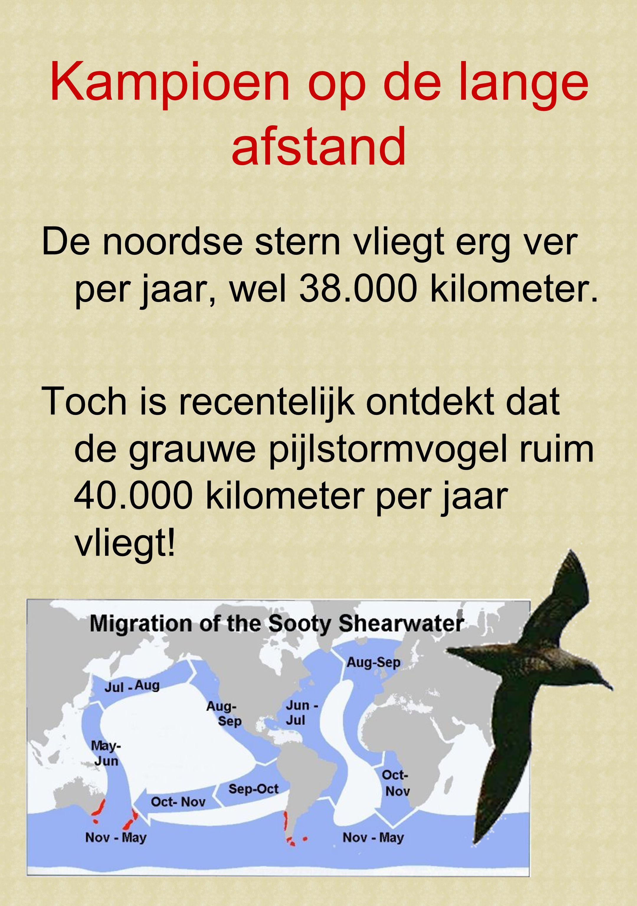 Kampioen op de lange afstand De noordse stern vliegt erg ver per jaar, wel 38.000 kilometer.