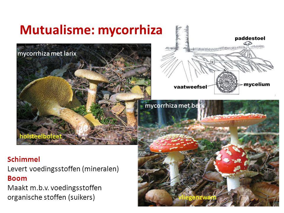 Mutualisme: mycorrhiza mycorrhiza met larix holsteelboleet vliegenzwam mycorrhiza met berk Schimmel Levert voedingsstoffen (mineralen) Boom Maakt m.b.v.