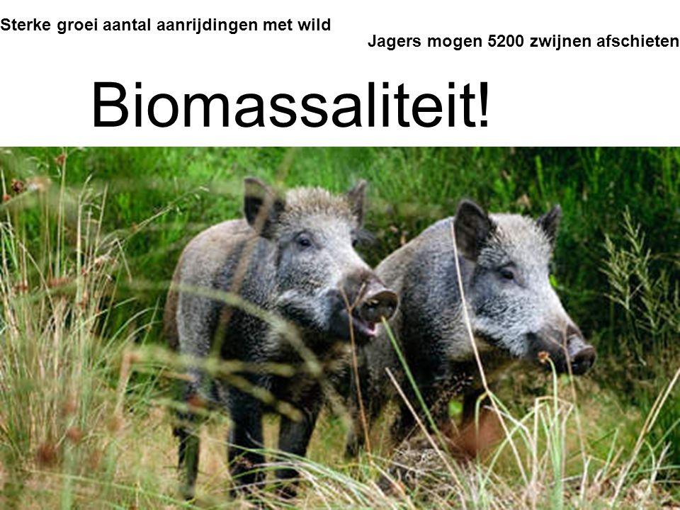 Sterke groei aantal aanrijdingen met wild Jagers mogen 5200 zwijnen afschieten Biomassaliteit!