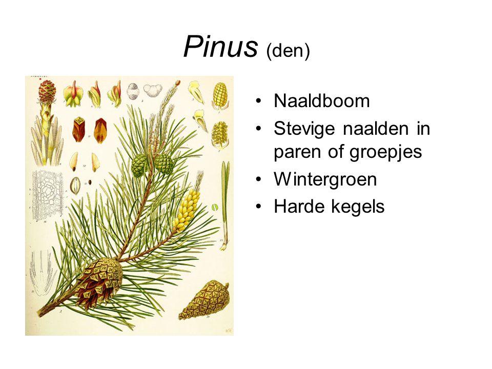 Pinus (den) Naaldboom Stevige naalden in paren of groepjes Wintergroen Harde kegels