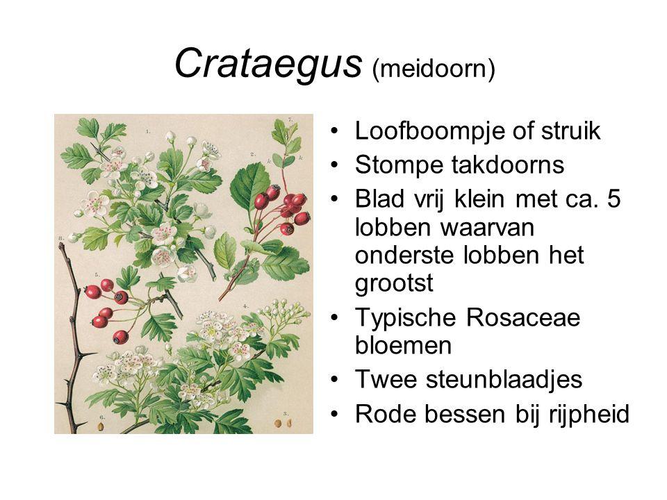 Crataegus (meidoorn) Loofboompje of struik Stompe takdoorns Blad vrij klein met ca. 5 lobben waarvan onderste lobben het grootst Typische Rosaceae blo