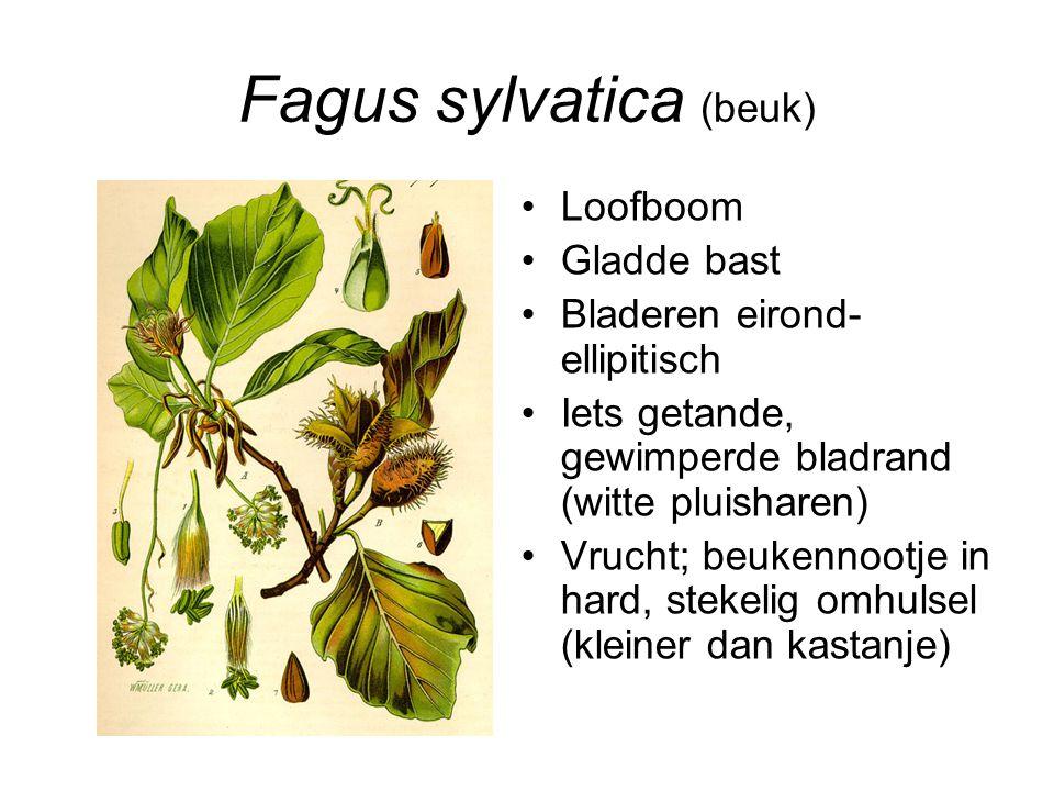 Fagus sylvatica (beuk) Loofboom Gladde bast Bladeren eirond- ellipitisch Iets getande, gewimperde bladrand (witte pluisharen) Vrucht; beukennootje in