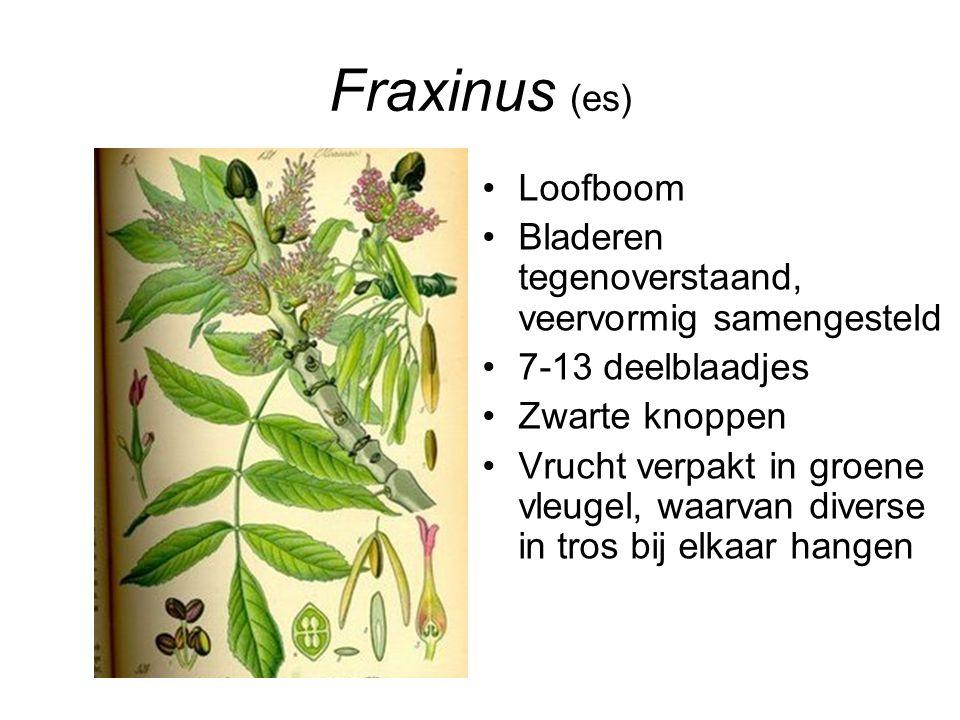 Fraxinus (es) Loofboom Bladeren tegenoverstaand, veervormig samengesteld 7-13 deelblaadjes Zwarte knoppen Vrucht verpakt in groene vleugel, waarvan di