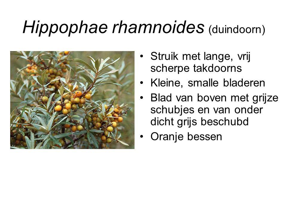 Hippophae rhamnoides (duindoorn) Struik met lange, vrij scherpe takdoorns Kleine, smalle bladeren Blad van boven met grijze schubjes en van onder dich