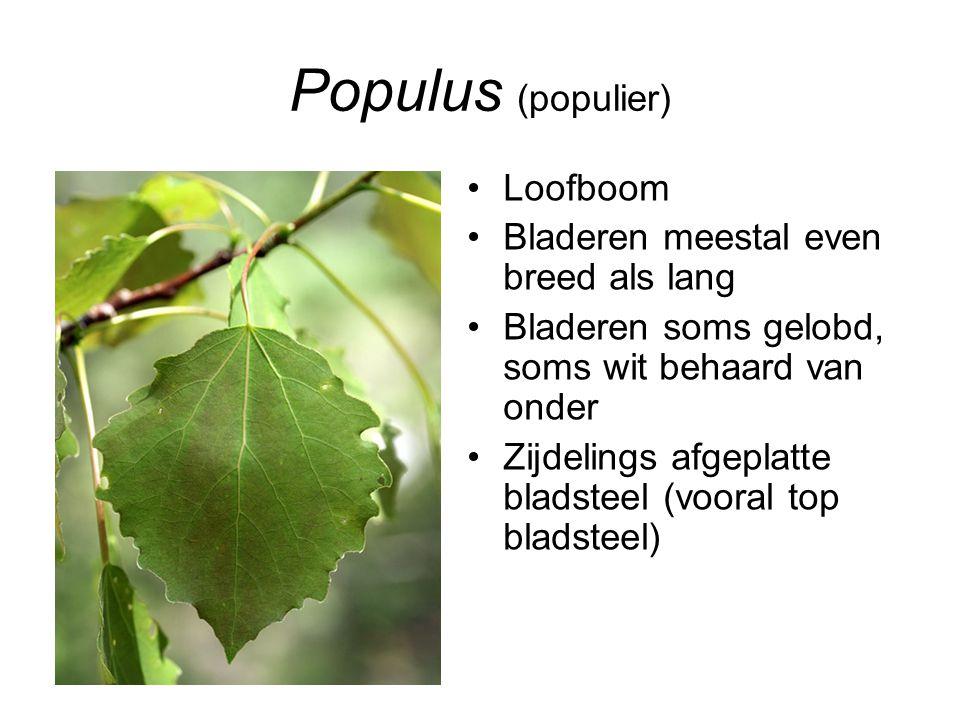 Populus (populier) Loofboom Bladeren meestal even breed als lang Bladeren soms gelobd, soms wit behaard van onder Zijdelings afgeplatte bladsteel (voo