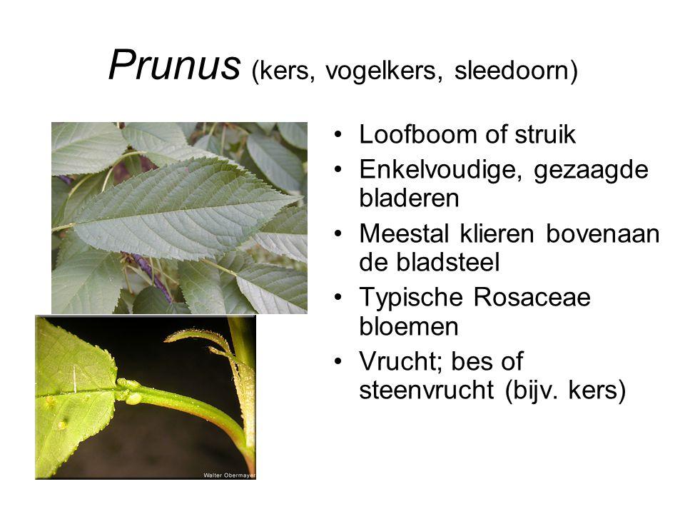 Prunus (kers, vogelkers, sleedoorn) Loofboom of struik Enkelvoudige, gezaagde bladeren Meestal klieren bovenaan de bladsteel Typische Rosaceae bloemen