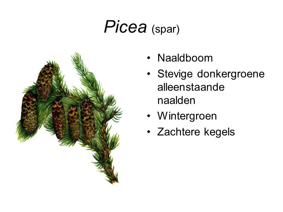 Picea (spar) Naaldboom Stevige donkergroene alleenstaande naalden Wintergroen Zachtere kegels