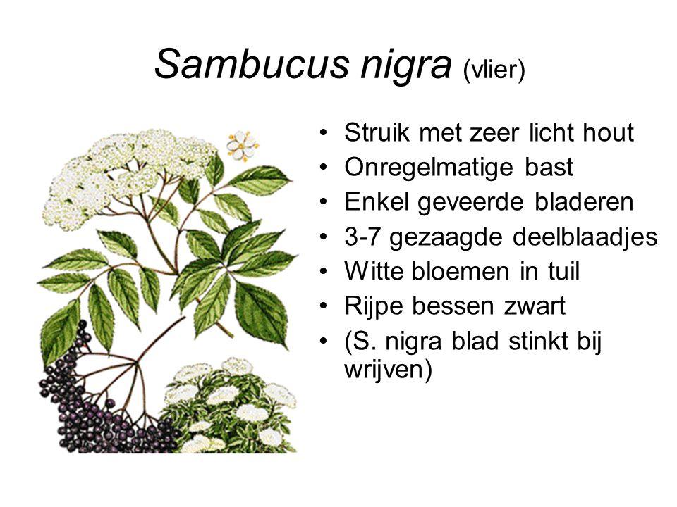 Sambucus nigra (vlier) Struik met zeer licht hout Onregelmatige bast Enkel geveerde bladeren 3-7 gezaagde deelblaadjes Witte bloemen in tuil Rijpe bes