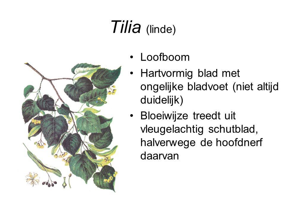 Tilia (linde) Loofboom Hartvormig blad met ongelijke bladvoet (niet altijd duidelijk) Bloeiwijze treedt uit vleugelachtig schutblad, halverwege de hoo
