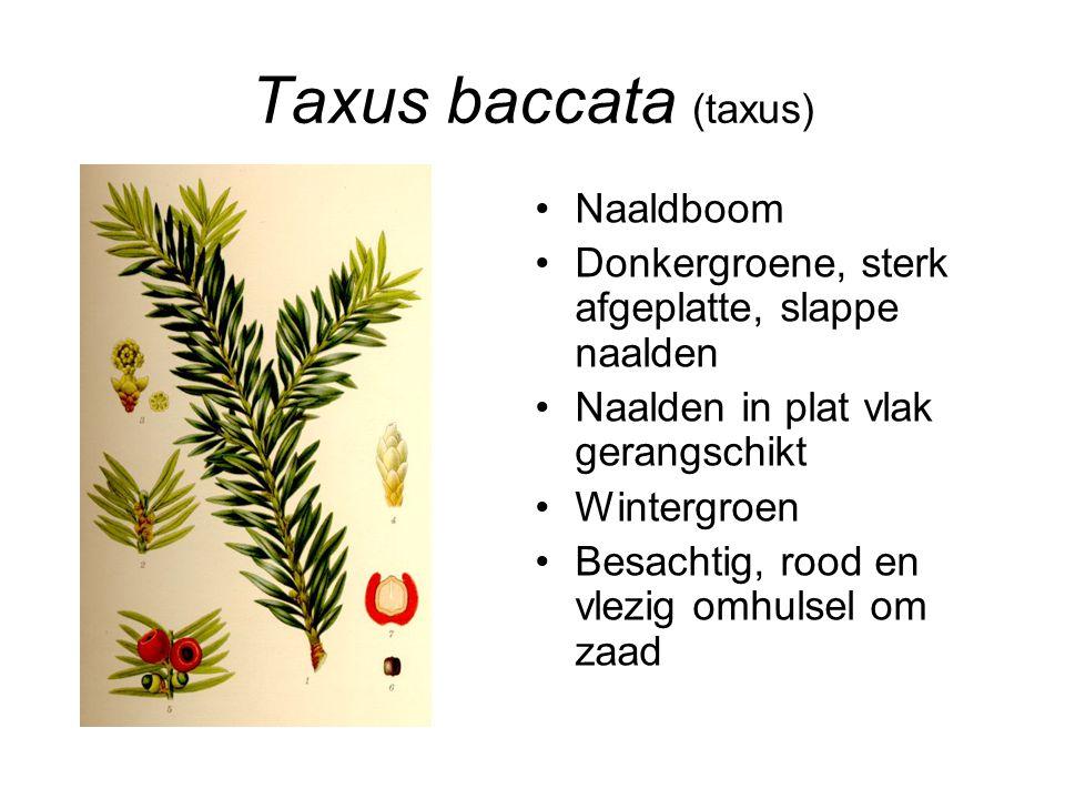 Taxus baccata (taxus) Naaldboom Donkergroene, sterk afgeplatte, slappe naalden Naalden in plat vlak gerangschikt Wintergroen Besachtig, rood en vlezig