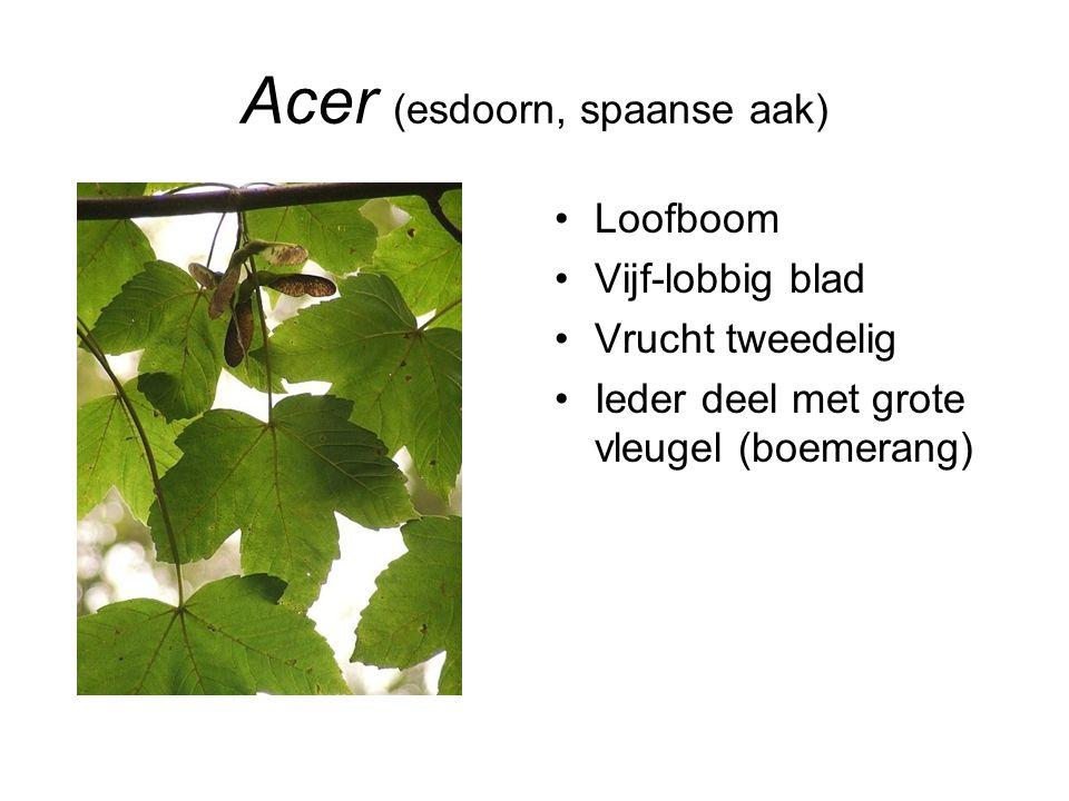 Aesculus (paardenkastanje) Loofboom Grote, handvormig samengestelde bladeren Ca.