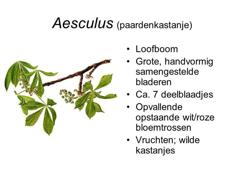 Aesculus (paardenkastanje) Loofboom Grote, handvormig samengestelde bladeren Ca. 7 deelblaadjes Opvallende opstaande wit/roze bloemtrossen Vruchten; w