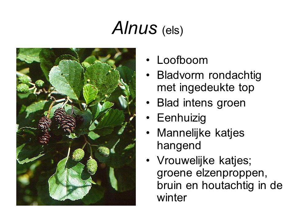 Alnus (els) Loofboom Bladvorm rondachtig met ingedeukte top Blad intens groen Eenhuizig Mannelijke katjes hangend Vrouwelijke katjes; groene elzenprop