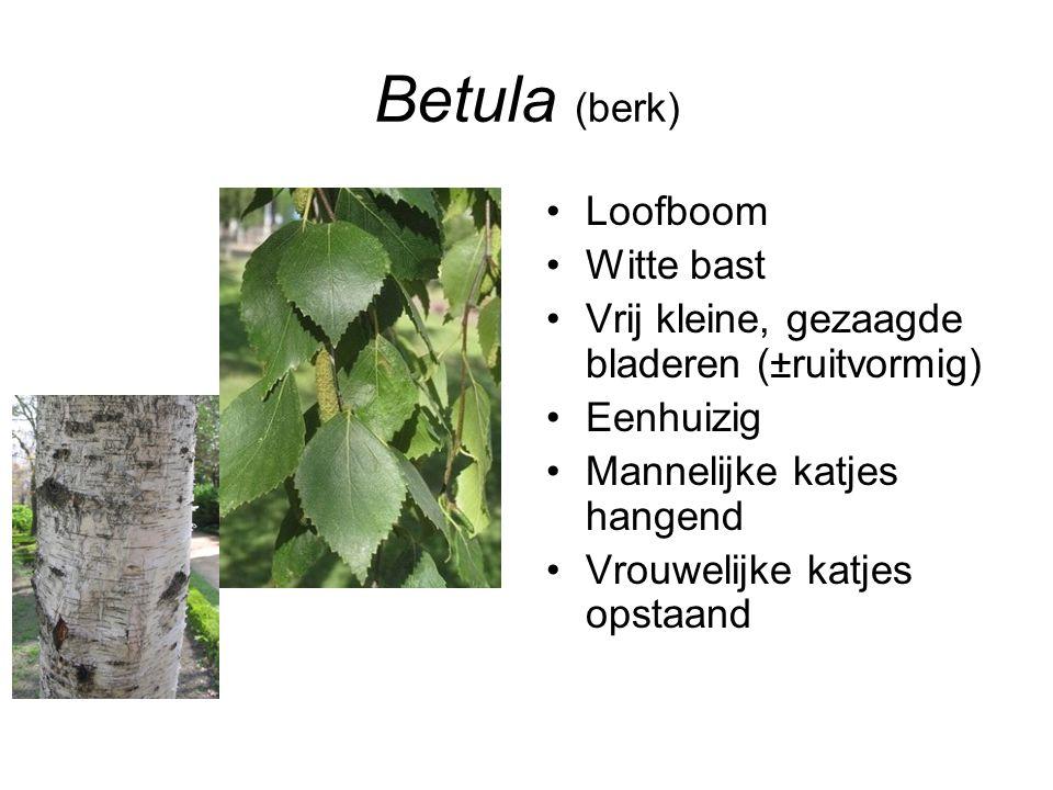 Betula (berk) Loofboom Witte bast Vrij kleine, gezaagde bladeren (±ruitvormig) Eenhuizig Mannelijke katjes hangend Vrouwelijke katjes opstaand
