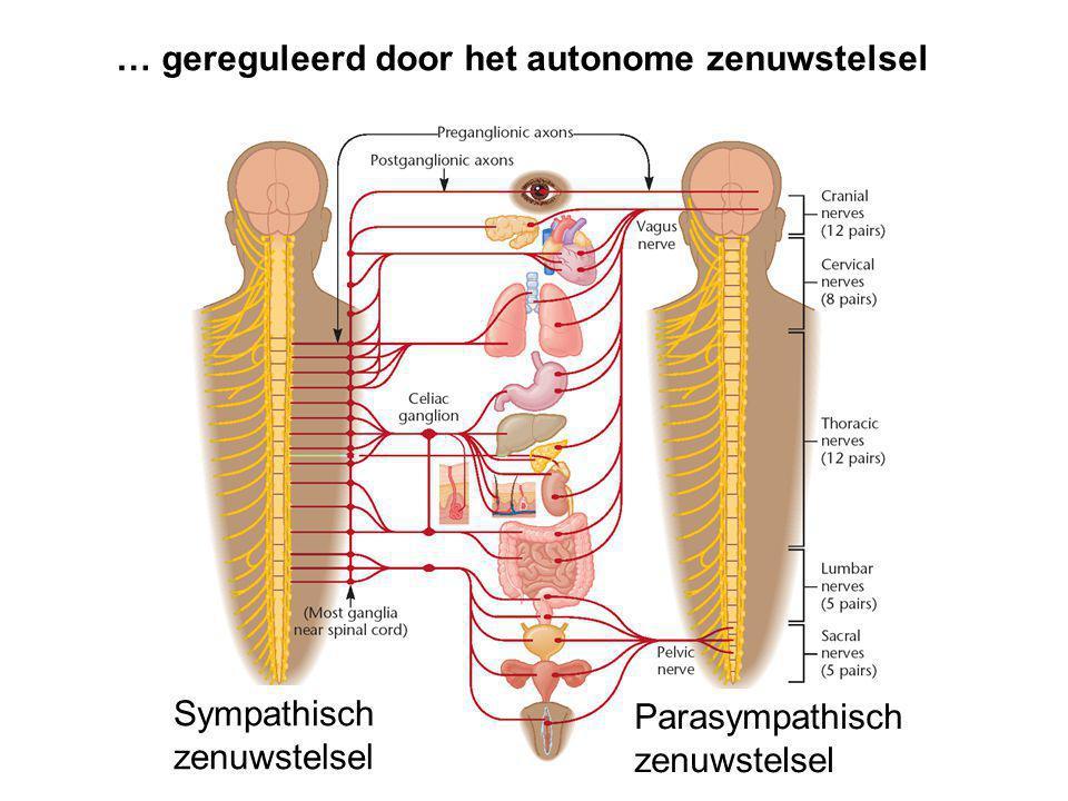 … gereguleerd door het autonome zenuwstelsel Sympathisch zenuwstelsel Parasympathisch zenuwstelsel