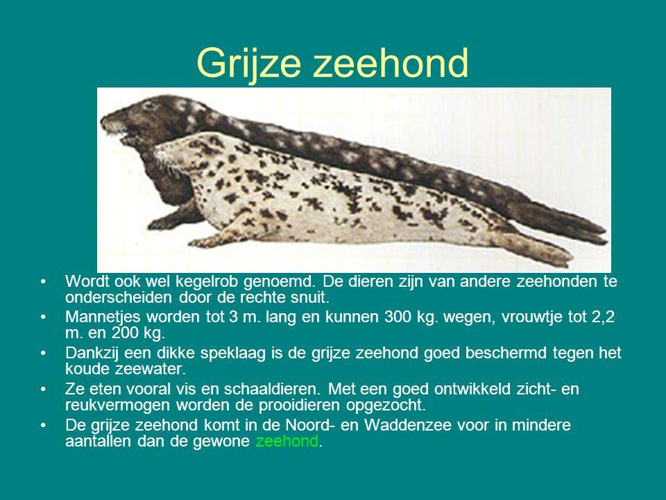 Grijze zeehond Wordt ook wel kegelrob genoemd. De dieren zijn van andere zeehonden te onderscheiden door de rechte snuit. Mannetjes worden tot 3 m. la