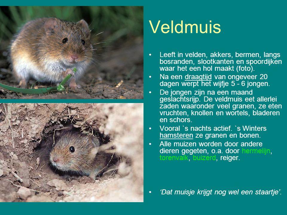 Veldmuis Leeft in velden, akkers, bermen, langs bosranden, slootkanten en spoordijken waar het een hol maakt (foto). Na een draagtijd van ongeveer 20