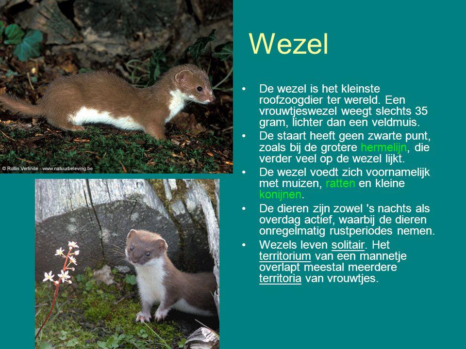 Wezel De wezel is het kleinste roofzoogdier ter wereld. Een vrouwtjeswezel weegt slechts 35 gram, lichter dan een veldmuis. De staart heeft geen zwart