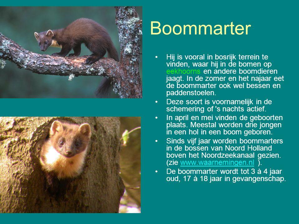 Boommarter Hij is vooral in bosrijk terrein te vinden, waar hij in de bomen op eekhoorns en andere boomdieren jaagt. In de zomer en het najaar eet de