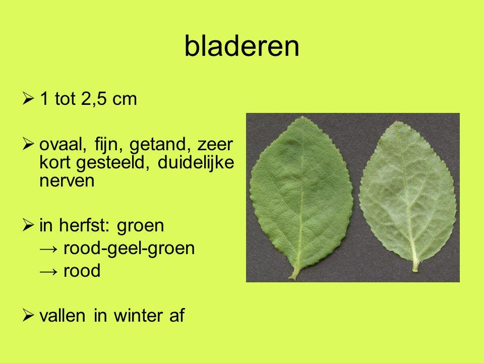 bladeren  1 tot 2,5 cm  ovaal, fijn, getand, zeer kort gesteeld, duidelijke nerven  in herfst: groen → rood-geel-groen → rood  vallen in winter af