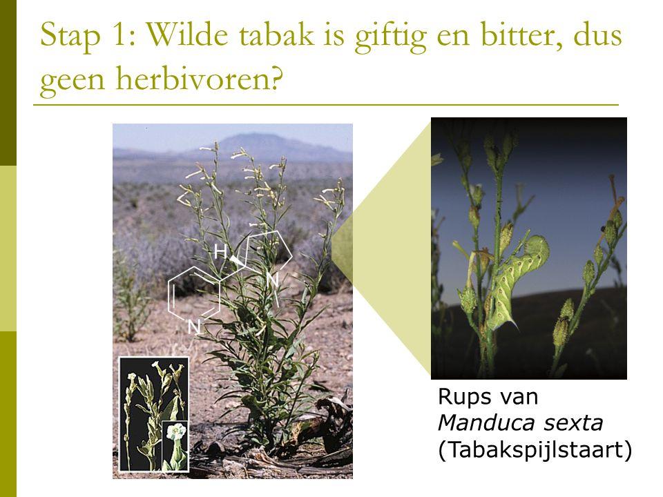 Stap 1: Wilde tabak is giftig en bitter, dus geen herbivoren.