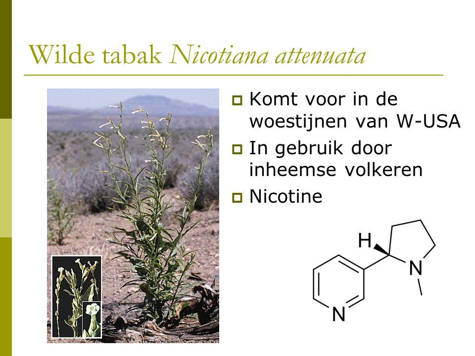 Wilde tabak Nicotiana attenuata  Komt voor in de woestijnen van W-USA  In gebruik door inheemse volkeren  Nicotine