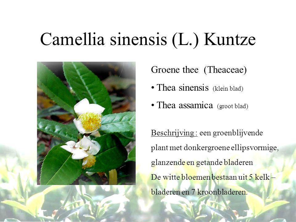 Camellia sinensis (L.) Kuntze Groene thee (Theaceae) Thea sinensis (klein blad) Thea assamica (groot blad) Beschrijving : een groenblijvende plant met