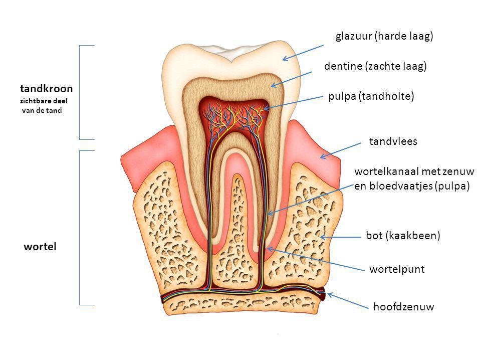 glazuur (harde laag) dentine (zachte laag) tandvlees wortelkanaal met zenuw en bloedvaatjes (pulpa) tandkroon zichtbare deel van de tand wortel wortel