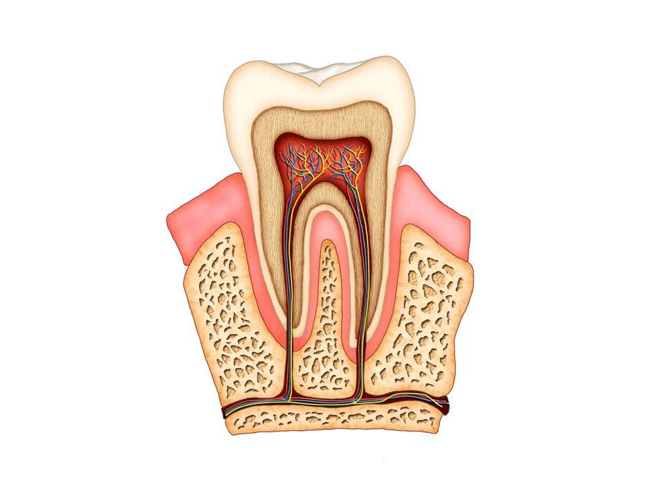 glazuur (harde laag) dentine (zachte laag) tandvlees wortelkanaal met zenuw en bloedvaatjes (pulpa) tandkroon zichtbare deel van de tand wortel wortelpunt bot (kaakbeen) pulpa (tandholte) hoofdzenuw