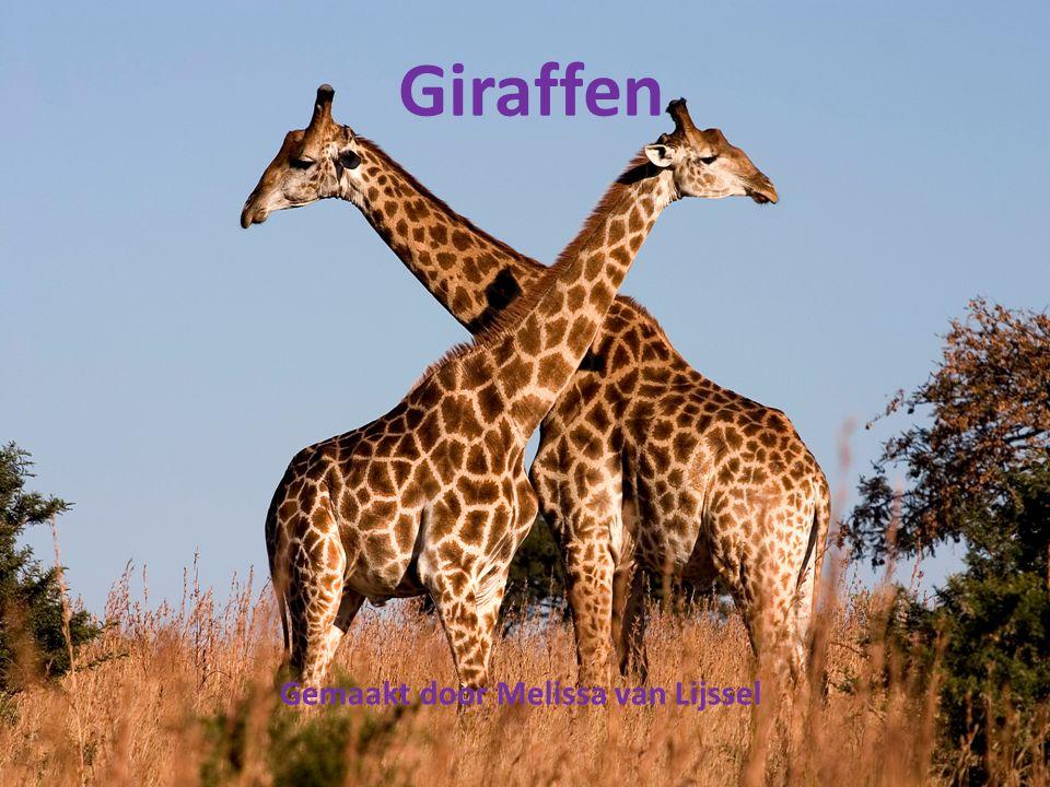 Giraffen Gemaakt door Melissa van Lijssel
