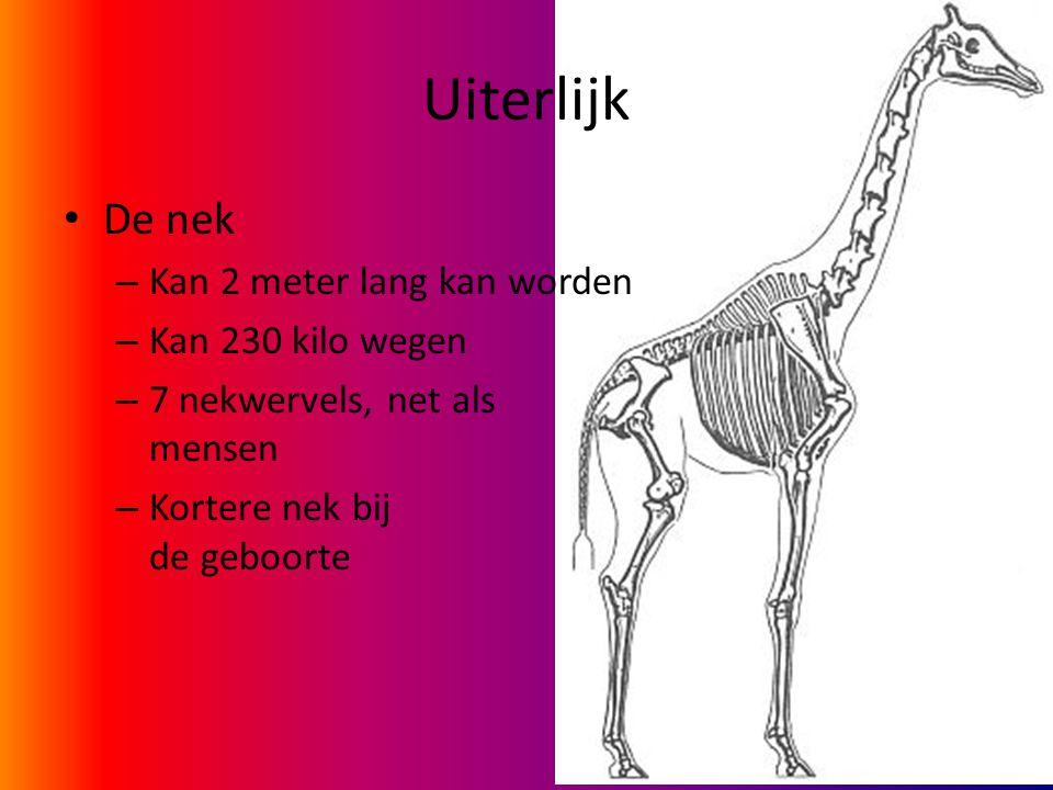 Uiterlijk De nek – Kan 2 meter lang kan worden – Kan 230 kilo wegen – 7 nekwervels, net als mensen – Kortere nek bij de geboorte