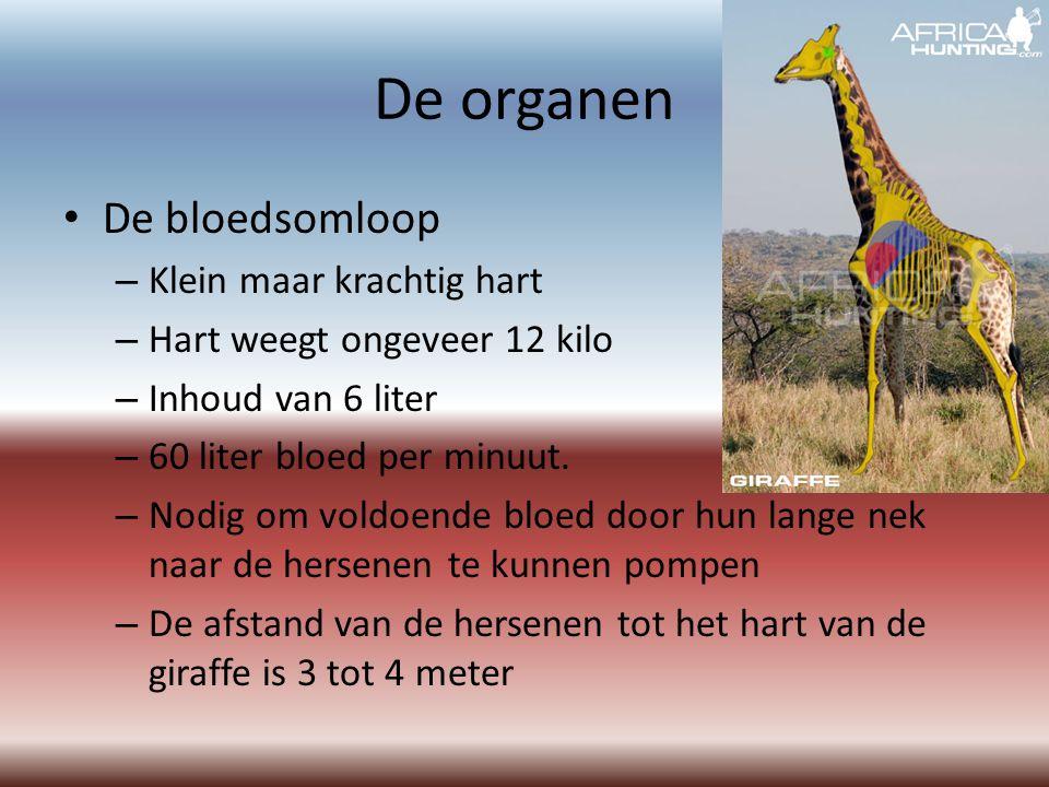 De organen De bloedsomloop – Klein maar krachtig hart – Hart weegt ongeveer 12 kilo – Inhoud van 6 liter – 60 liter bloed per minuut.