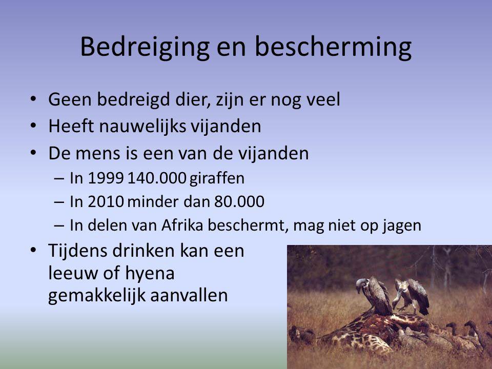 Bedreiging en bescherming Geen bedreigd dier, zijn er nog veel Heeft nauwelijks vijanden De mens is een van de vijanden – In 1999 140.000 giraffen – In 2010 minder dan 80.000 – In delen van Afrika beschermt, mag niet op jagen Tijdens drinken kan een leeuw of hyena gemakkelijk aanvallen