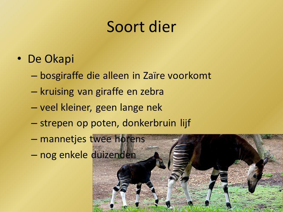 Soort dier De Okapi – bosgiraffe die alleen in Zaïre voorkomt – kruising van giraffe en zebra – veel kleiner, geen lange nek – strepen op poten, donkerbruin lijf – mannetjes twee horens – nog enkele duizenden