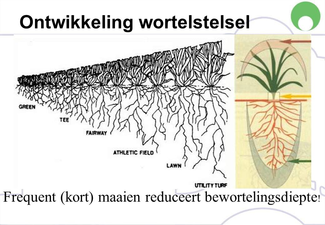Ontwikkeling wortelstelsel Frequent (kort) maaien reduceert bewortelingsdiepte !