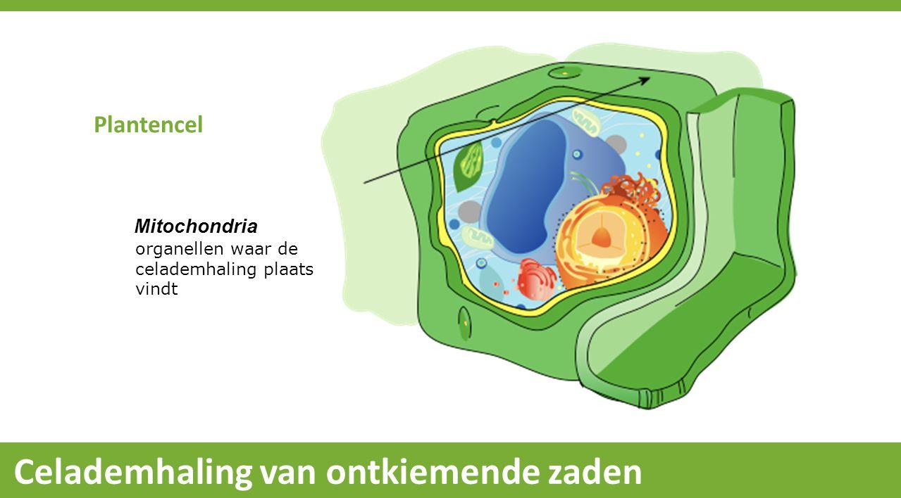 Celademhaling van ontkiemende zaden Mitochondria organellen waar de celademhaling plaats vindt Plantencel