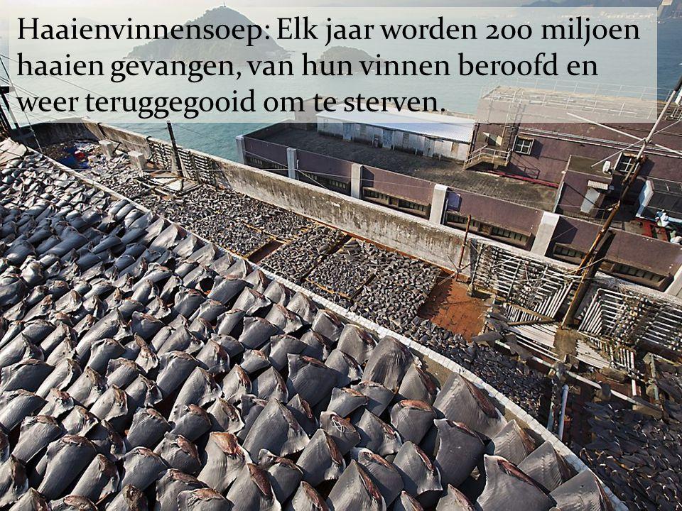 Haaienvinnensoep: Elk jaar worden 200 miljoen haaien gevangen, van hun vinnen beroofd en weer teruggegooid om te sterven.