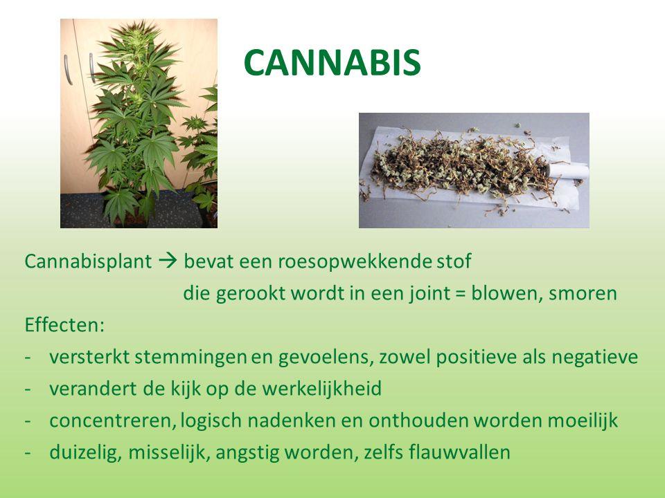 CANNABIS Cannabisplant  bevat een roesopwekkende stof die gerookt wordt in een joint = blowen, smoren Effecten: -versterkt stemmingen en gevoelens, zowel positieve als negatieve -verandert de kijk op de werkelijkheid -concentreren, logisch nadenken en onthouden worden moeilijk -duizelig, misselijk, angstig worden, zelfs flauwvallen