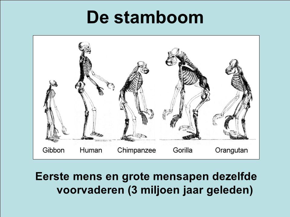 Eerste mens en grote mensapen dezelfde voorvaderen (3 miljoen jaar geleden) De stamboom