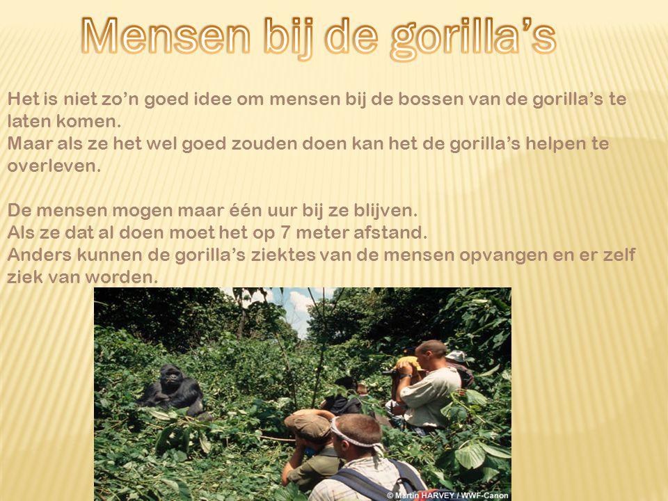  In 1990 brak dicht bij de gorilla's een grote oorlog uit.  Mensen gingen wegvluchten en schuilden op plekken waar de gorilla's ook leefde.  Ook so