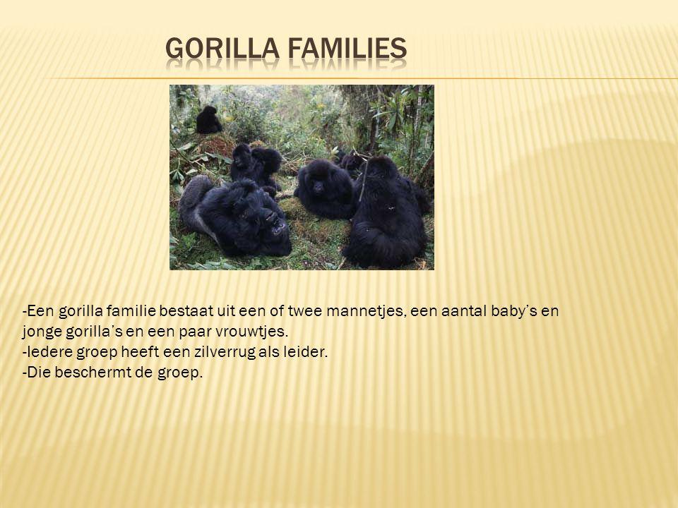- Bij de geboorte weegt een jonge gorilla ongeveer 2 kilo. - De eerste maanden van het kleintje houd de moeder het tegen haar borst. - Als de kleine o