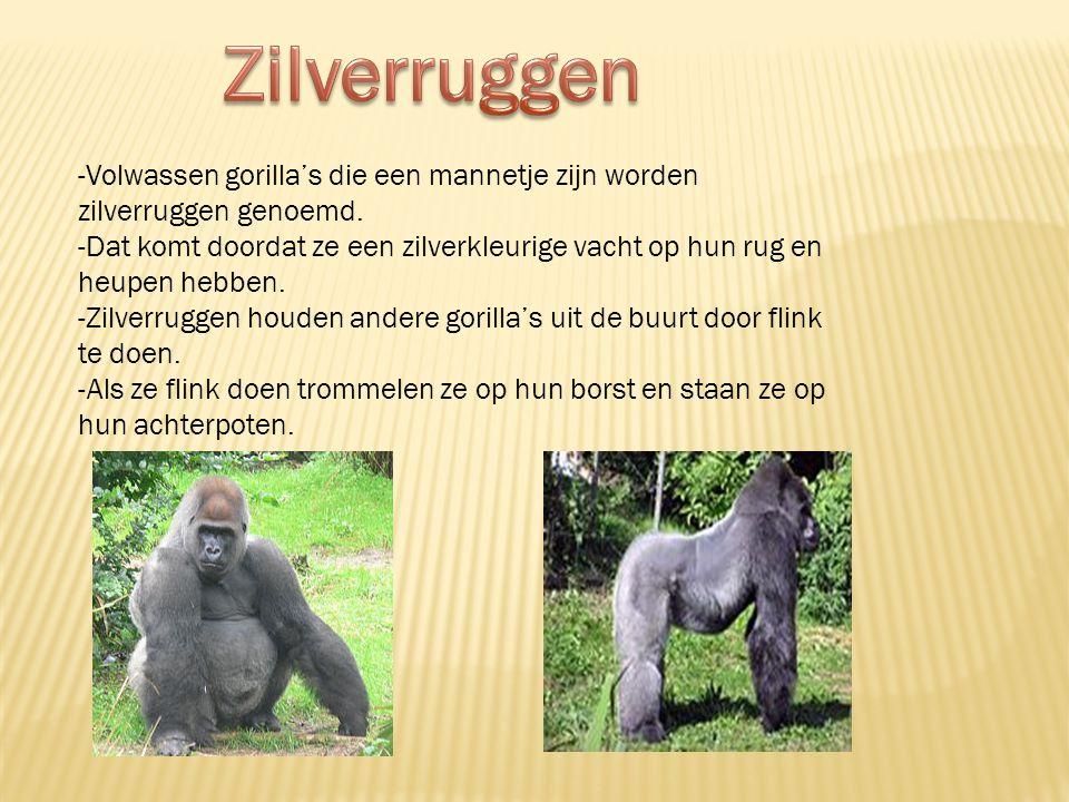 -Een gorilla familie bestaat uit een of twee mannetjes, een aantal baby's en jonge gorilla's en een paar vrouwtjes. -Iedere groep heeft een zilverrug