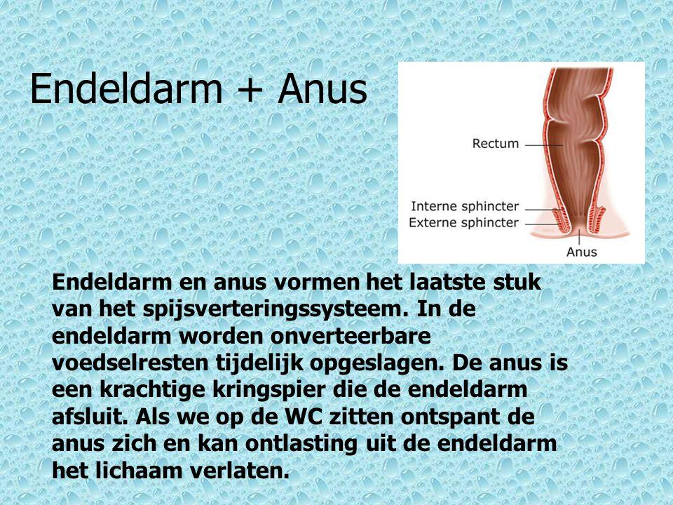 Endeldarm + Anus Endeldarm en anus vormen het laatste stuk van het spijsverteringssysteem. In de endeldarm worden onverteerbare voedselresten tijdelij