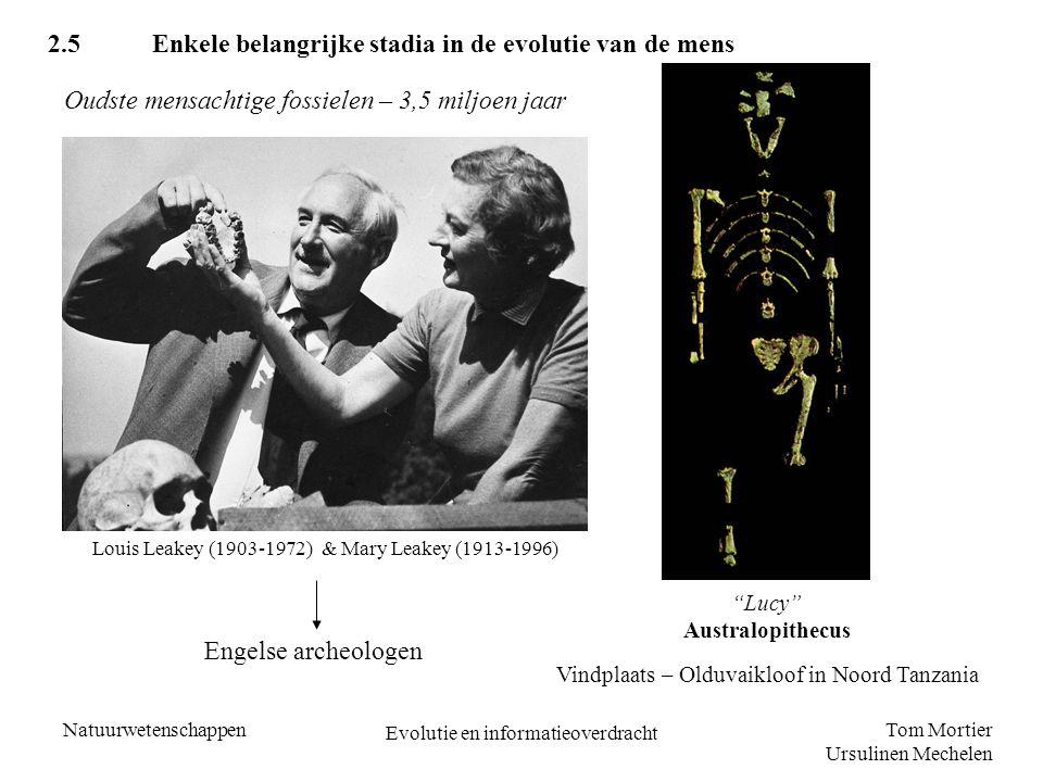 Tom Mortier Ursulinen Mechelen Natuurwetenschappen Evolutie en informatieoverdracht Australopithecus (3,5 miljoen – 1 miljoen jaar geleden) - Kleinere herseninhoud - Vooruitstekende onderkaak - Liepen reeds rechtop