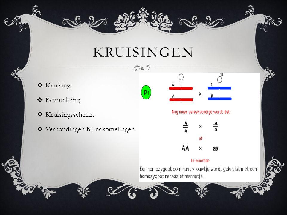 KRUISINGEN  Kruising  Bevruchting  Kruisingsschema  Verhoudingen bij nakomelingen.