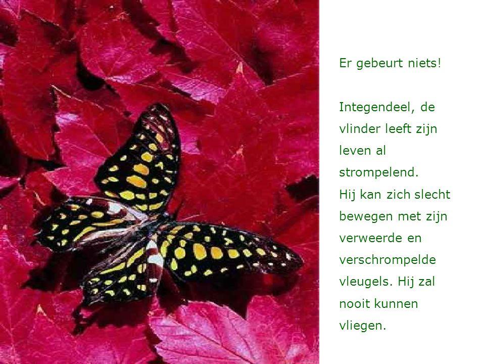 Er gebeurt niets! Integendeel, de vlinder leeft zijn leven al strompelend. Hij kan zich slecht bewegen met zijn verweerde en verschrompelde vleugels.